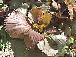 Moorea Copper Plant (Acalypha wilkesiana 'Moorea') at Roger's Gardens