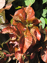 Bronze Pink Copper Plant (Acalypha wilkesiana 'Bronze Pink') at Roger's Gardens
