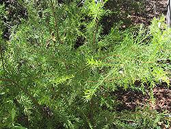 Canberra Gem Grevillea (Grevillea 'Canberra Gem') at Roger's Gardens