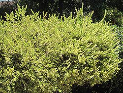 Variegated Myrtle (Myrtus communis 'Variegata') at Roger's Gardens