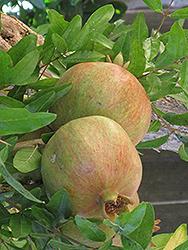 Wonderful Pomegranate (Punica granatum 'Wonderful') at Roger's Gardens