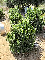 Yeddo Hawthorn (Rhaphiolepis umbellata) at Roger's Gardens