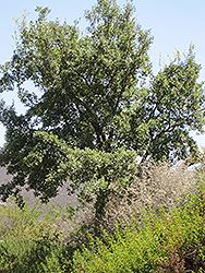 Cork Oak (Quercus suber) at Roger's Gardens