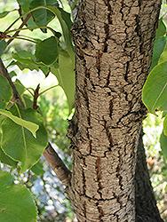 Evergreen Pear (Pyrus kawakamii) at Roger's Gardens