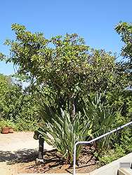 Bronze Loquat (Eriobotrya deflexa) at Roger's Gardens