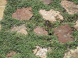 Silver Carpet (Dymondia margaretae) at Roger's Gardens