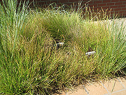 Slender Veldt Grass (Pennisetum spathiolatum) at Roger's Gardens