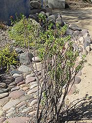 Miniature Pine Tree (Crassula tetragona) at Roger's Gardens