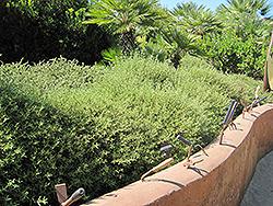 Pink Rockrose (Cistus x skanbergii) at Roger's Gardens