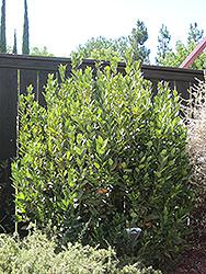 Sweet Bay (shrub form) (Laurus nobilis '(shrub form)') at Roger's Gardens