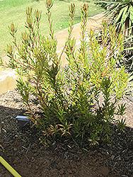 Rising Sun Conebush (Leucadendron 'Rising Sun') at Roger's Gardens