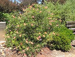 Superb Grevillea (Grevillea 'Superb') at Roger's Gardens