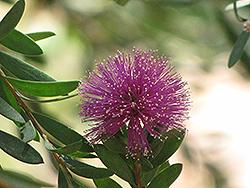 Pink Melaleuca (Melaleuca nesophila) at Roger's Gardens