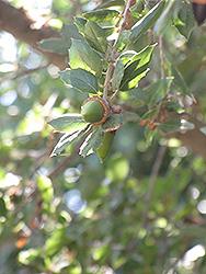 Holm Oak (Quercus ilex) at Roger's Gardens