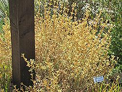 Woolly Jerusalem Sage (Phlomis lanata) at Roger's Gardens