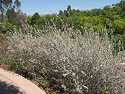 Amethyst Bluff Purple Sage (Salvia leucophylla 'Amethyst Bluff') at Roger's Gardens