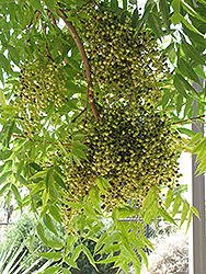 Chinese Pistache (Pistacia chinensis) at Roger's Gardens