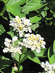 White Lightnin' Trailing Lantana (Lantana sellowiana 'Monma') at Roger's Gardens