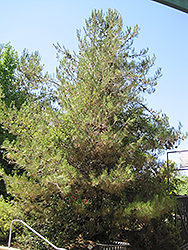 Eldarica Pine (Pinus eldarica) at Roger's Gardens