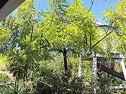 Gold Medallion Tree (Cassia leptophylla) at Roger's Gardens