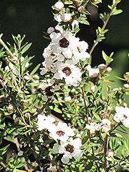 Snow White Tea-Tree (Leptospermum scoparium 'Snow White') at Roger's Gardens