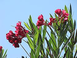 Hardy Pink Oleander (Nerium oleander 'Hardy Pink') at Roger's Gardens