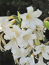 White Belladonna Lily (Amaryllis belladonna 'Alba') at Roger's Gardens