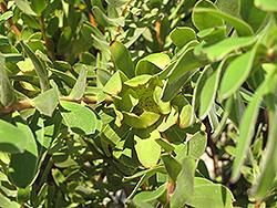 Safari Goldstrike Conebush (Leucadendron 'Safari Goldstrike') at Roger's Gardens