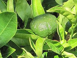 Gold Nugget Mandarin (Citrus reticulata 'Gold Nugget') at Roger's Gardens