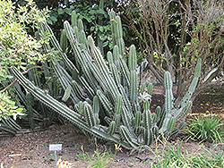 Peruvian Apple Cactus (Cereus peruvianus) at Roger's Gardens