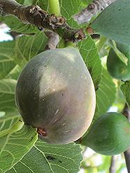 Celeste Fig (Ficus carica 'Celeste') at Roger's Gardens