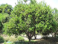 Calamondin (Citrofortunella x microcarpa) at Roger's Gardens