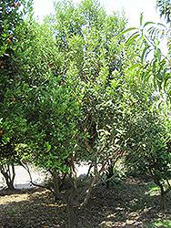 Meiwa Kumquat (Fortunella crassifolia 'Meiwa') at Roger's Gardens