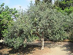 Triumph Pineapple Guava (Acca sellowiana 'Triumph') at Roger's Gardens