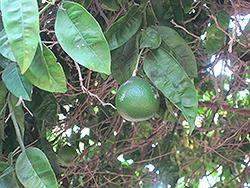 Chironja Orangelo (Citrus 'Chironja') at Roger's Gardens