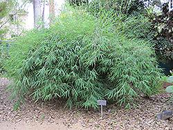 Nepalese Blue Bamboo (Himalayacalamus porcatus) at Roger's Gardens