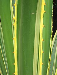 Variegated Sword Lily (Furcraea selloa var. marginata) at Roger's Gardens