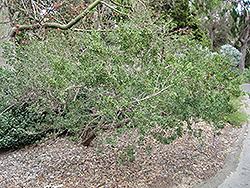 Australian Tea-Tree (Leptospermum laevigatum) at Roger's Gardens