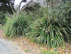 Mat Rush (Lomandra longifolia) at Roger's Gardens