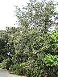Primrose Tree (Lagunaria patersonia) at Roger's Gardens