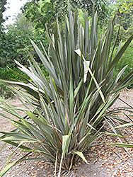 Rubra New Zealand Flax (Phormium tenax 'Rubra') at Roger's Gardens