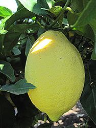 Lemon (Citrus limon) at Roger's Gardens
