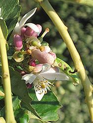 Variegated Pink Eureka Lemon (Citrus limon 'Variegated Pink Eureka') at Roger's Gardens