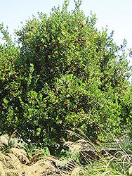 Valencia Orange (Citrus sinensis 'Valencia') at Roger's Gardens