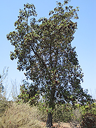Santa Cruz Island Ironwood (Lyonothamnus floribundus ssp. aspleniifolius) at Roger's Gardens
