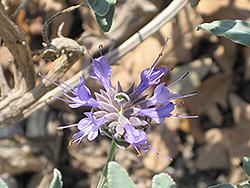 Cleveland Sage (Salvia clevelandii) at Roger's Gardens