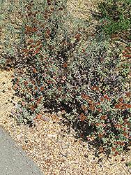 Red Buckwheat (Eriogonum grande var. rubescens) at Roger's Gardens