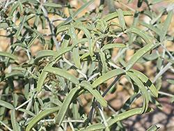 Desert Lavender (Hyptis emoryi) at Roger's Gardens