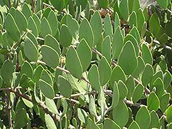 Jojoba (Simmondsia chinensis) at Roger's Gardens