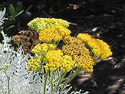 Dusty Miller (Jacobaea maritima) at Roger's Gardens